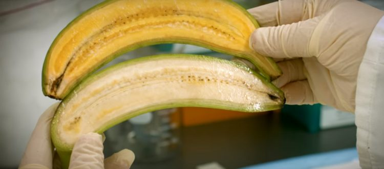 Golden Bananas